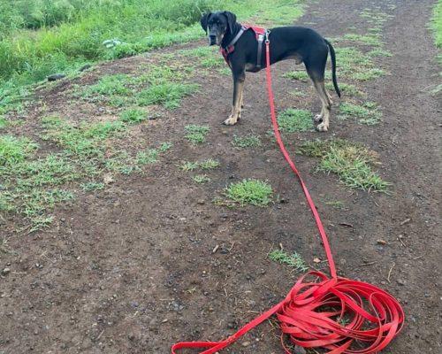 longe biothane rouge pour très grand chien dog allemand
