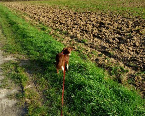 longe biothane rouge 10 mètres pour mini berger américian