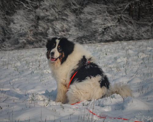 longe biothane orange pour chien berger de bosnie à la neige