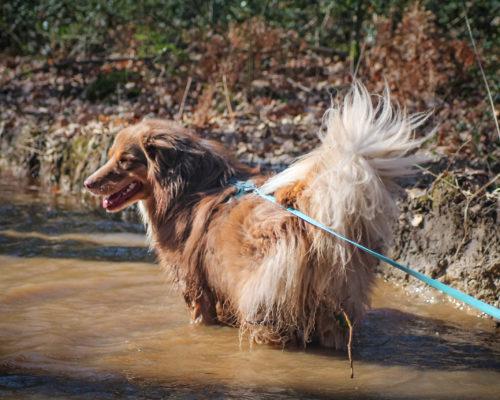 longe biothane bleue assortie au harnais en Y pour chien