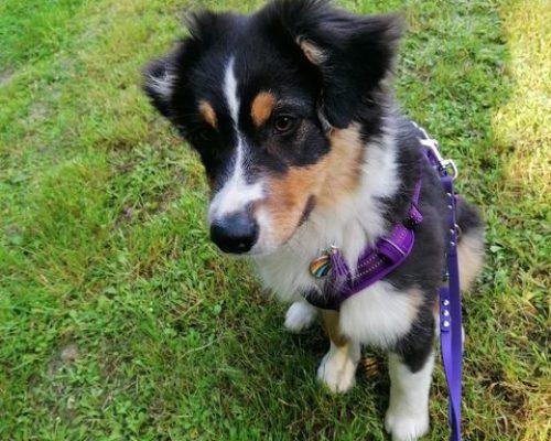 laisse biothane violette pour chiot berger autralien